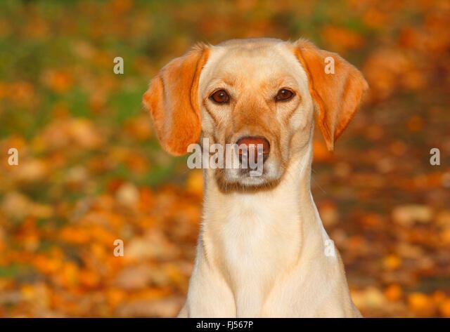 mixed breed dog (Canis lupus f. familiaris), Labrador Magyar Vizsla mixed breed dog sitting in autumn foliage, Germany - Stock Image