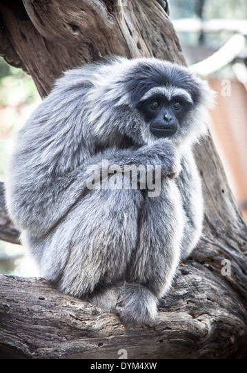 A downcast-looking Silvery Gibbon in a zoo - Stock Image