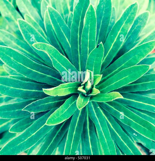 Macro shot of green plant with multiple leaves radiating from the Center - Stock-Bilder