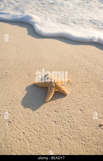 A starfish on the beach, Cable Beach, Nassau, Bahamas, Caribbean - Stock-Bilder