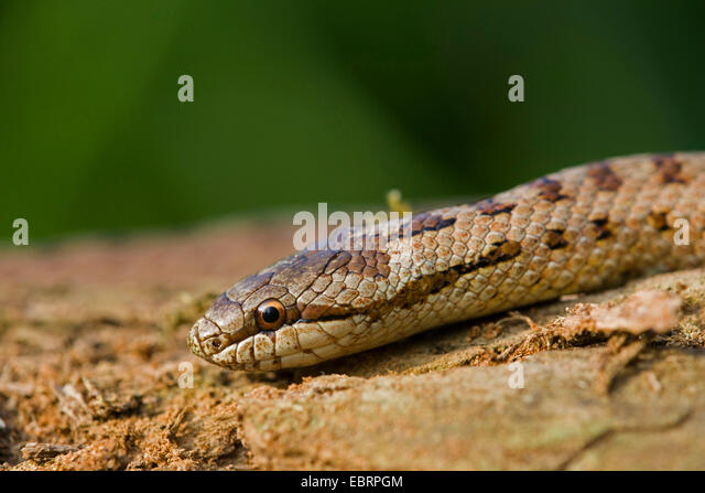 smooth snake (Coronella austriaca), portrait, Germany, Hesse - Stock Image