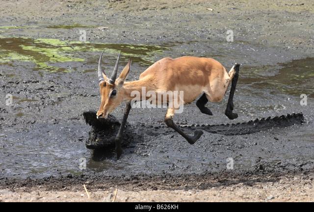 impala escaping from a nile crocodile attack - Stock Image