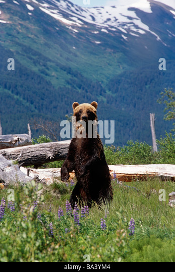 Brown bear standing upright in meadow Captive Alaska Wildlife Conservation Center Southcentral Alaska - Stock Image