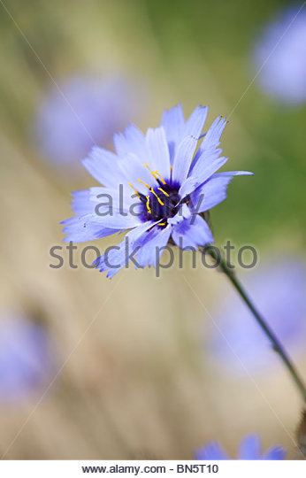 Catananche caerulea. Cupids dart flower. Love Plant - Stock Image