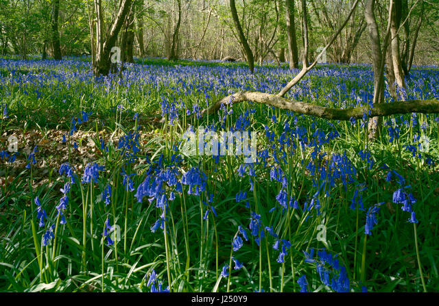 English bluebells in Gransden and Waresley Wood Cambridgeshire - Stock Image
