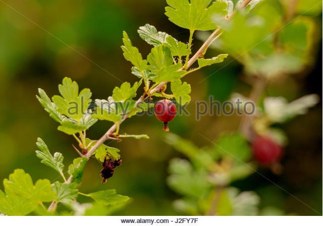 Red gooseberry on bush. - Stock Image