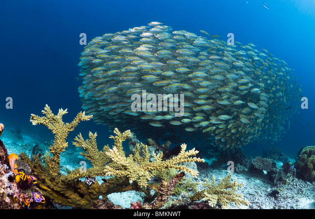 Bigeye scad school over coral reef.  Misool, Raja Empat, West Papua, Indonesia. - Stock Image