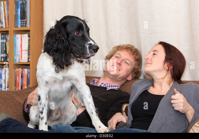 Everyday scene of two people sitting on a sofa smiling at an English Springer Spaniel pet dog sat on their lap in - Stock-Bilder