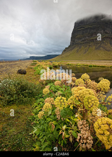 Angelica, autumn Mt. Lomagnupur, Icelad - Stock Image