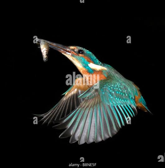Kingfisher with fish - Stock-Bilder