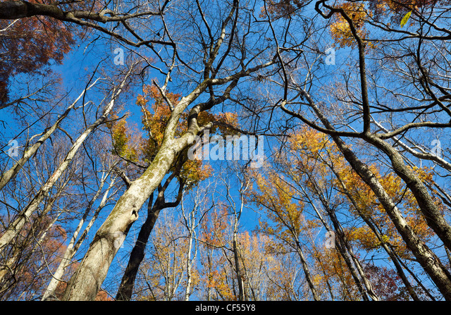 The Battle Creek Cypress Swamp, the northernmost site of naturally occurring bald cypress in North America, Maryland. - Stock Image