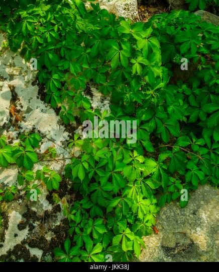 Lichens & Vines on a Boulder - Stock Image