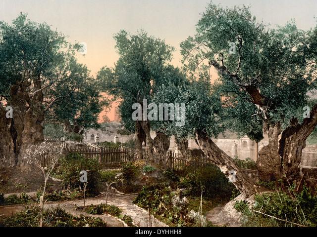 Garden of Gethsemane, Jerusalem, Holy Land, circa 1900 - Stock Image