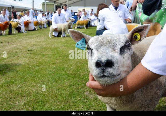 Showing Beltex sheep athe the Royal Highland Show, Edinburgh, 2014. - Stock Image