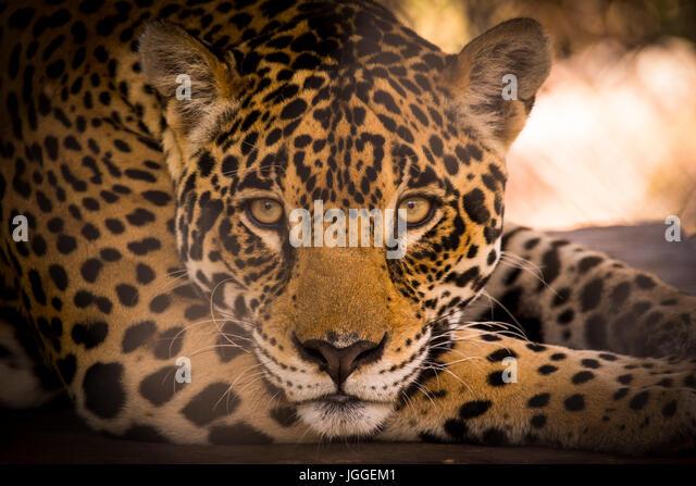 Big wild cat jaguar Panthera onca wildlife image taken in Panama - Stock Image