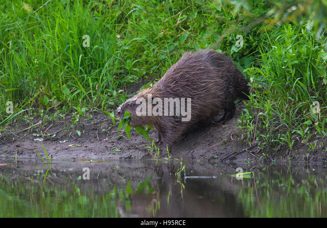Eurasian beaver / European beaver (Castor fiber) on riverbank dragging branch with leaves for food cache to water - Stock Image