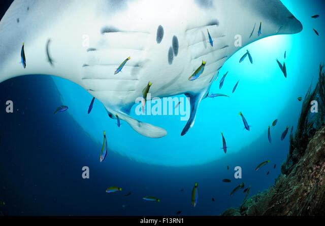 Giant manta rays (Manta birostris) at cleaning station North Raja Ampat, West Papua, Indonesia, Pacific Ocean - Stock Image