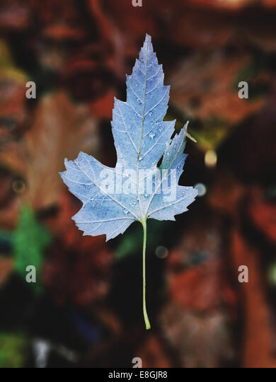 Close-up of autumn leaf - Stock Image