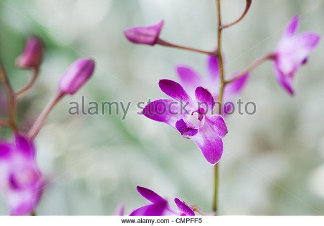 Dendrobium 'dancing flora' orchids - Stock Image
