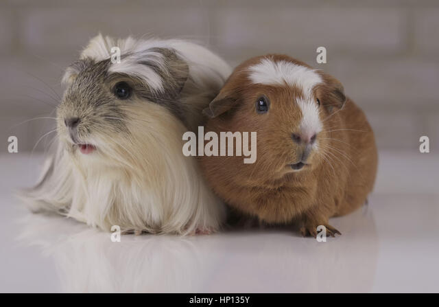 Guinea pigs breed Golden American Crested and Coronet cavy - Stock Image