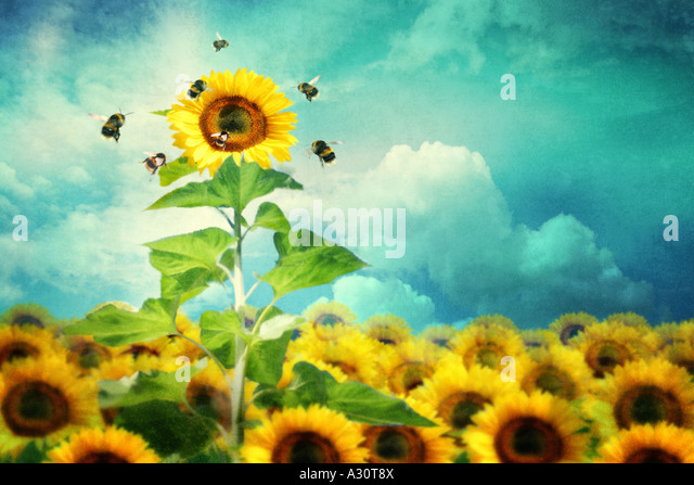 concept image of a tall sunflower standing out and attracting more bees - Stock Image