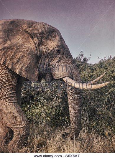 Bull Elephant, Kariega, South Africa - Stock Image