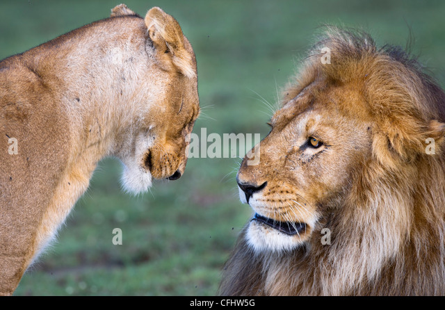 Male and female African Lion at Big Marsh, Ndutu, Serengeti, Tanzania - Stock Image