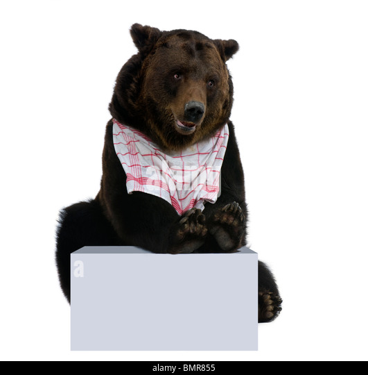 Siberian Brown Bear, 12 years old, with bib on stting in front of white background - Stock Image