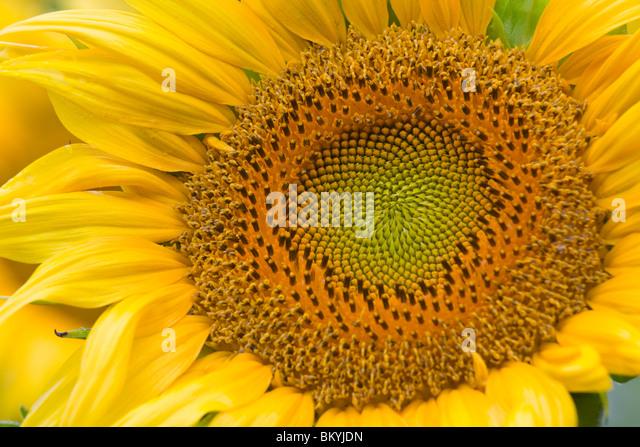 Green River Wildlife Area, Lee County, IL Single sunflower head detail - Stock-Bilder