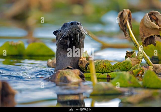 River Otter swimming among water lilies, watching,alert (Lutra canadensis ) - Stock-Bilder