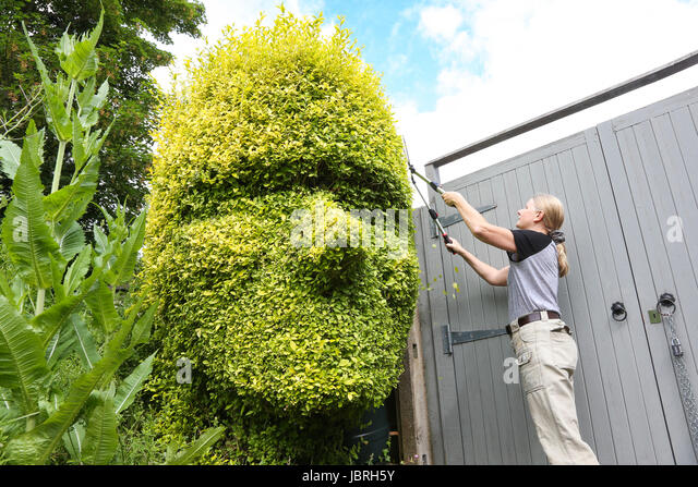 A woman gardener tends to her privet hedge topiary in the shape of a man's head UK - Stock-Bilder
