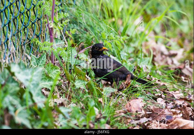 Common blackbird Turdus merula collecting food for young at roadside bank Ringwood Hampshire England UK - Stock Image