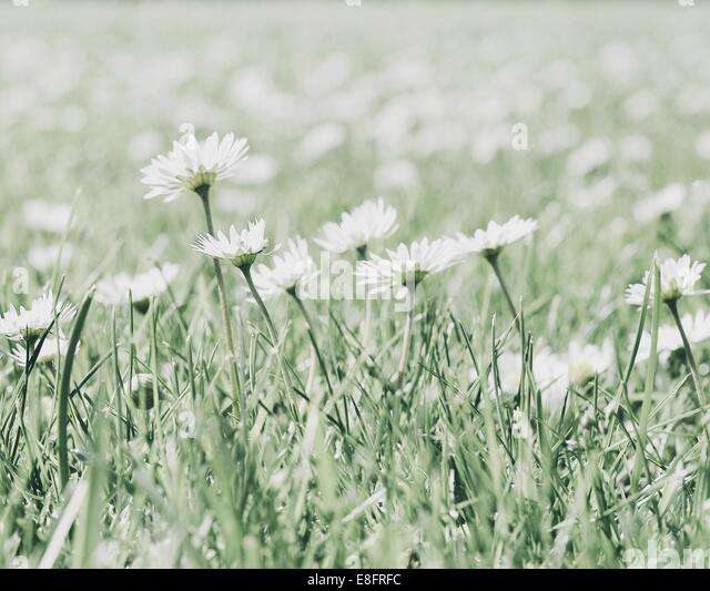 Close-up of daisy flowers - Stock Image