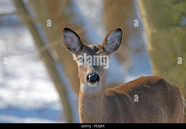 White-tailed Deer Looking at Camera - Stock Image