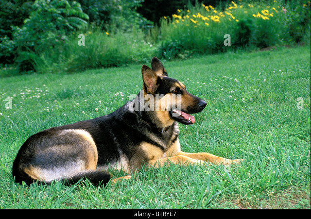 German Shepherd dog lying in grass and clover on summer evening in the back yard, USA - Stock Image