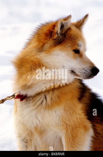 Portrait of a beautiful reddish Eskimo sled dog, Iqaluit, Baffin Island, Nunavut, Canada - Stock Image
