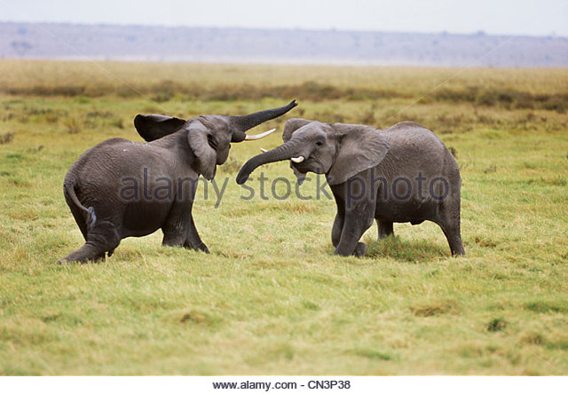 African elephants sparring, Amboseli National Park, Kenya - Stock-Bilder