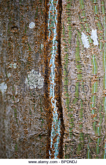 Acer Grosseri, Snake-bark maple. Tree bark pattern - Stock Image