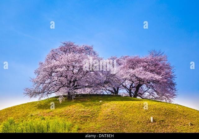 Cherry tree on the hill, Sakitama Tumulus, Saitama, Japan - Stock Image