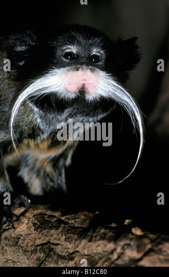 ouistiti a moustaches emperor tamarin saguinus imperator animal animals anthropoid arboreal blooded Callitrichidae - Stock-Bilder