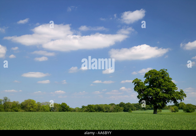 Old Oak tree in a wheat field taken in a field in Hampshire, England. - Stock Image