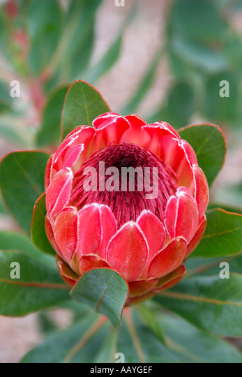 south africa cape town Kirstenbosch botanical garden protea national flower - Stock Image