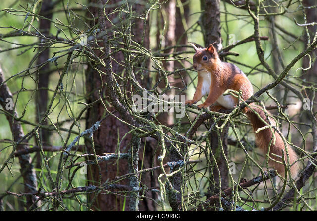 Red Squirrel. Northumberland UK - Stock Image
