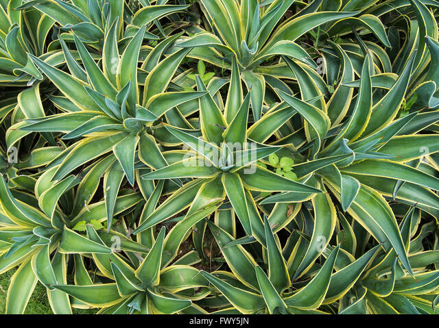 Sharp pointed agave plant leaves - Stock Image