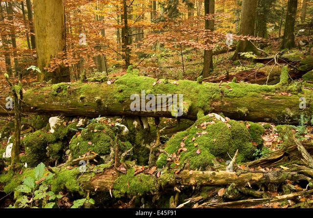 Corkova Uvala, virgin forest with Silver fir (Abies alba) Spruce (Picea excelsa) and European beeches (Fagus sylvatica) - Stock Image
