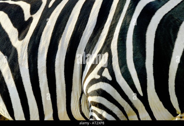 ZEBRA STRIPES PATTERN - Stock Image