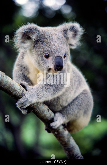 The big soulful eyes of a koala stare at visitors in the Lone Pine Koala Sanctuary in Brisbane, Queensland, Australia. - Stock Image