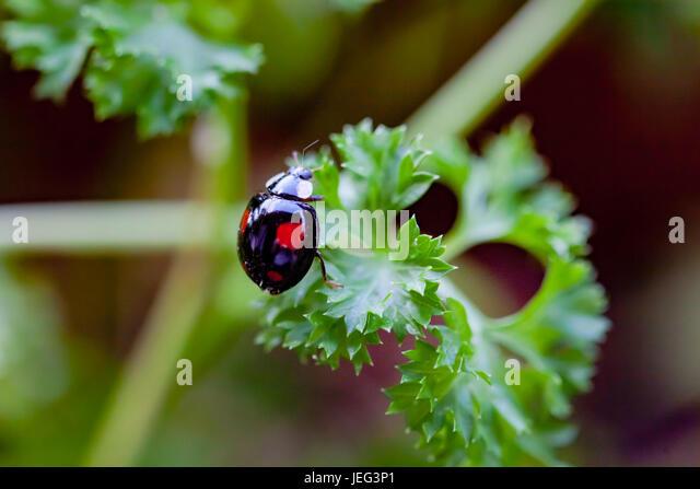 Black ladybug on basil herb - Stock Image