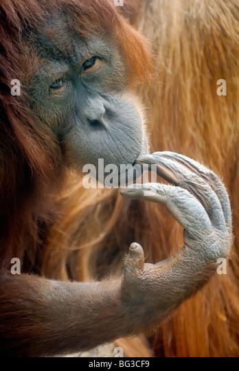 Bornean Orangutan / Pongo pygmaeus - Stock Image