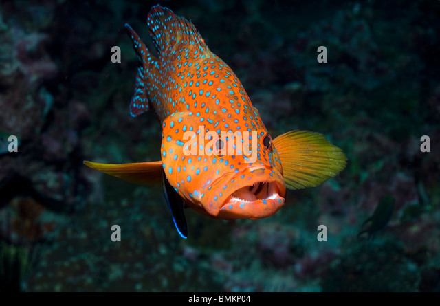 Coral hind with a Bluestreak cleaner, Andaman Sea, Thailand. - Stock Image